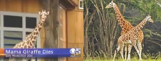 The Scoop: Pregnant Giraffe Dies at San Francisco Zoo!