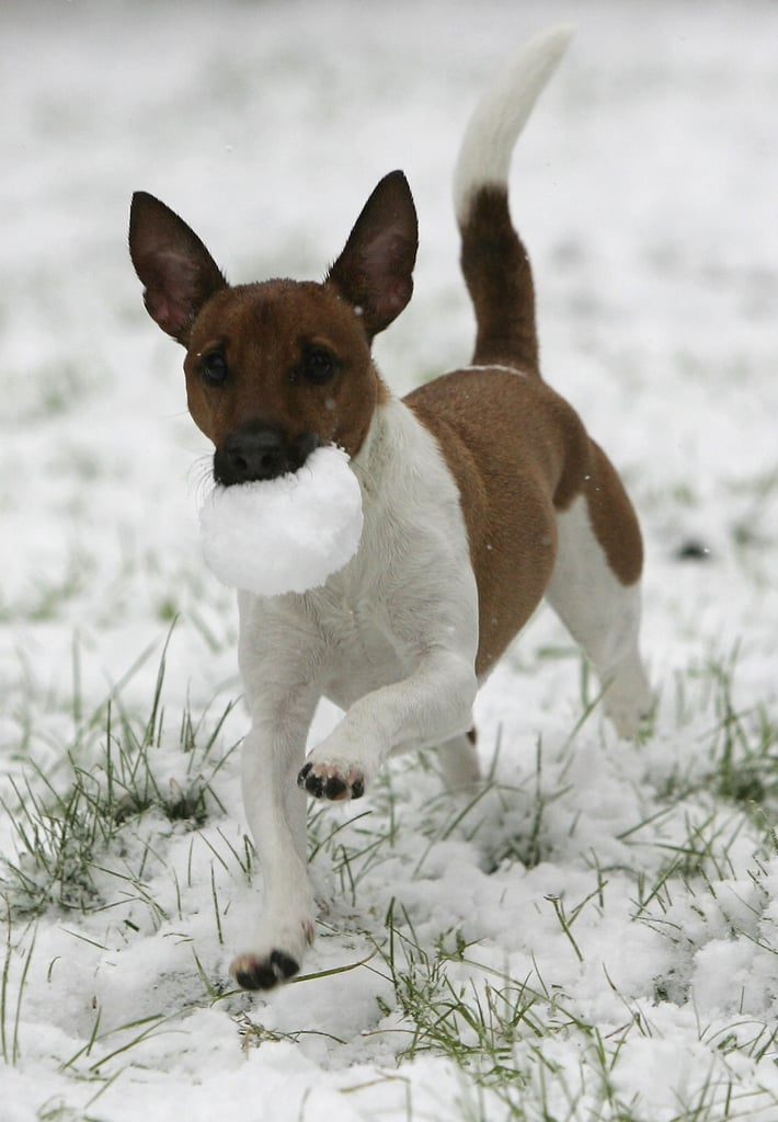 This Jack Russell Terrier did not drop the ball on playing his heart out.
