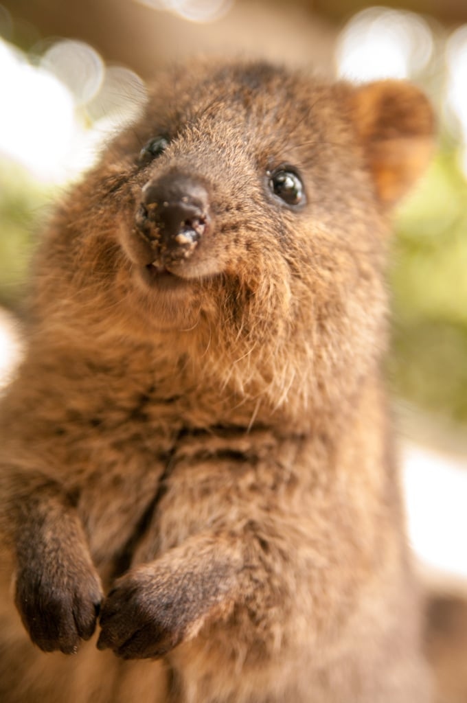 Quokkas are about the size of a domestic cat and extremely friendly, making them our new fantasy pets.