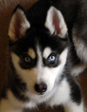 What Do You Know About Siberian Huskies?