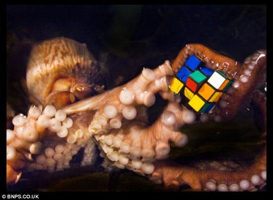 Researchers Use Rubik's Cubes to Reduce Stress in Octopuses.