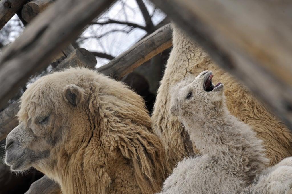 Jenny and Jolan the Camel-ly Family
