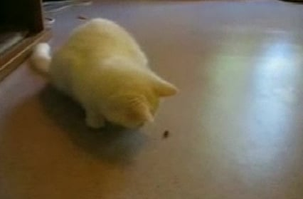 Cute Alert: Cat Goes Ninja on a Helpless Fly