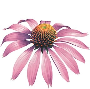 The Skinny On: Echinacea