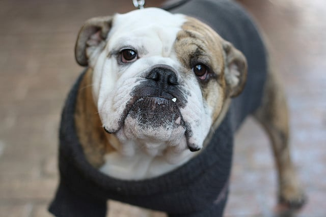 This bulldog is dressed to impress in his gray sweater.  Source: Flickr user dani k