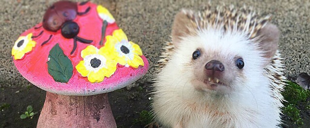 This Hedgehog's Funny Smile Will Make Your Day So Much Better