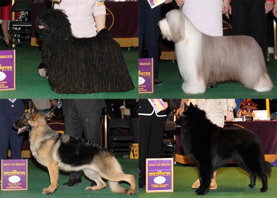 2010 Herding Group Winners at Westminster