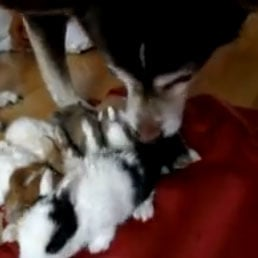 Dog Takes Care of Newborn Rabbits