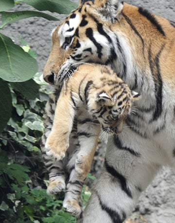 Though nine species of tigers were once documented throughout the world, today only six remain, and they survive only in endangered numbers.