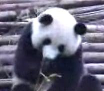 Sneezing Panda On a Roll