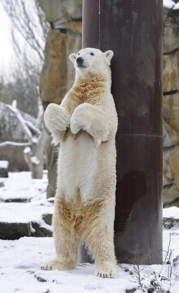 Playful Knut the Cute Frolicks in Berlin . . . Still Sans Fraulein