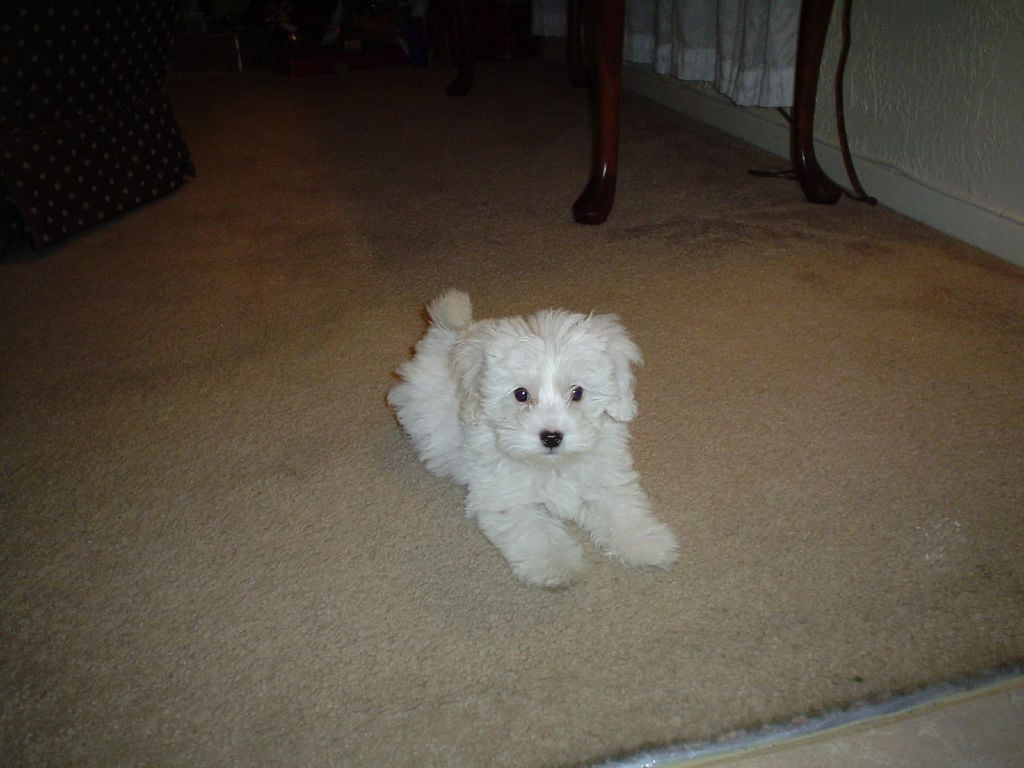 This particular Maltipoo looks like a stuffed animal with its fluffy, snow white hair. Maltipoos are known for being extremely playful and friendly dogs. Source: Flickr User agjimenez