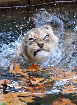 Swim Lesson For Lion