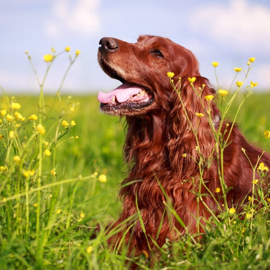 Facts About Irish Setters