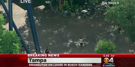 Orangutan Caught After Escape At Busch Gardens Tampa Bay