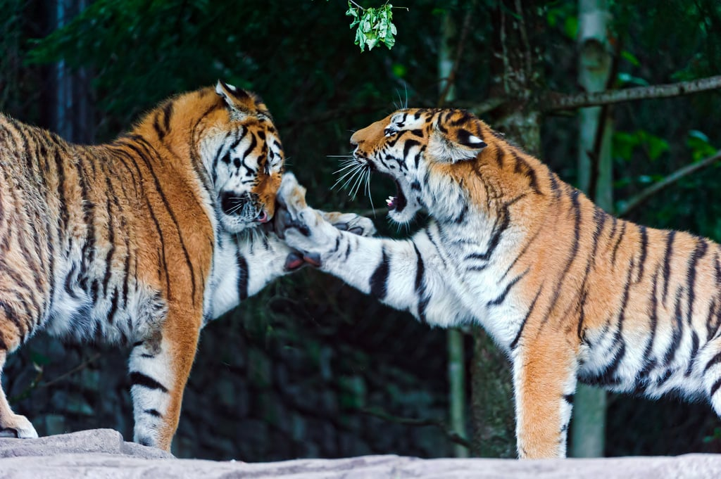 Tiger Parenting (or Chinese Parenting)