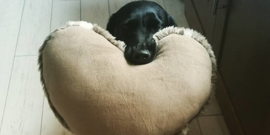 Sweet Dog Greets Family With Heart-Shaped Cushion Every Day