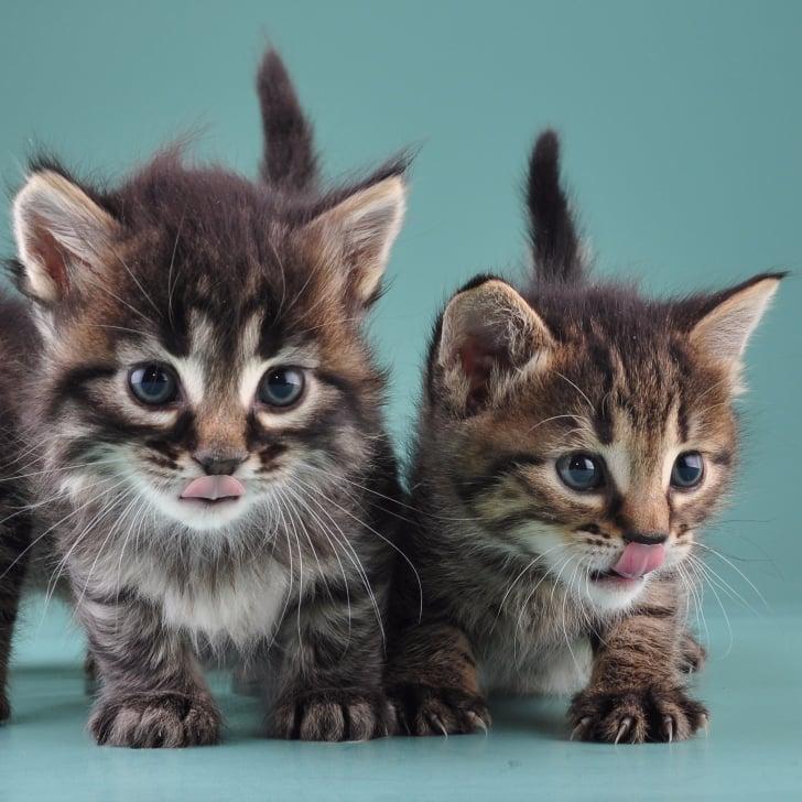 cat adopts kitten