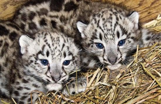 Baby Snow Leopards are BFFs