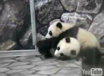 Cute Alert: Baby Panda Wrestling