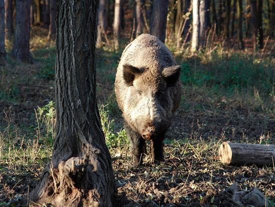 Hogs Run Wild in Florida Community