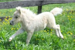 Cute Alert: Tiny Horse Runs Like the Wind