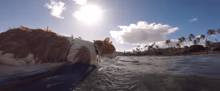 Surfing Kitty Makes Us Miss the Beautiful Summer Weather