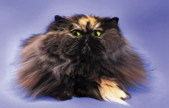 Pet Peeves: Kitty's Got Dandruff
