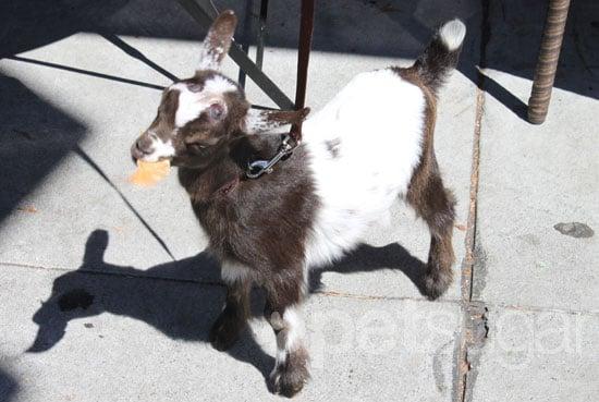 Pygmy Goat Kept as Pet in San Francisco