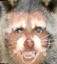 Guess Who Is Morphed With This Rabid Raccoon?