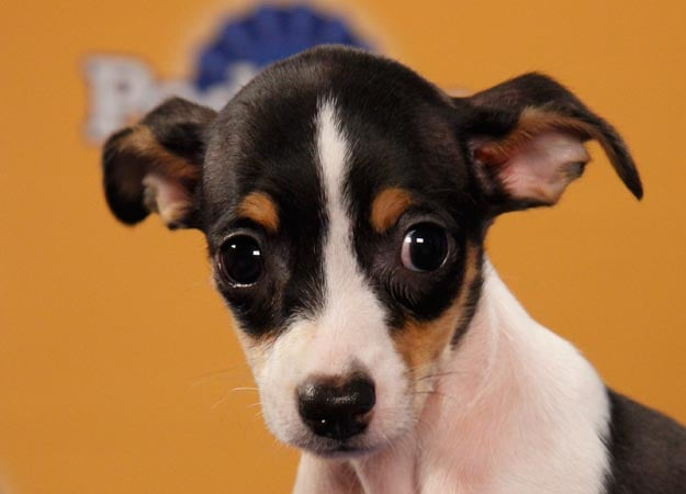 Rat terrier Joni would definitely win the coin toss for biggest eyes. Source: Animal Planet