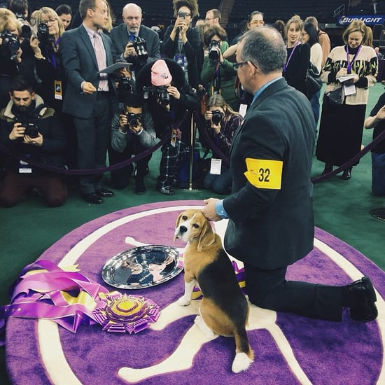 Beagle Wins 2015 Westminster Kennel Club's Best in Show