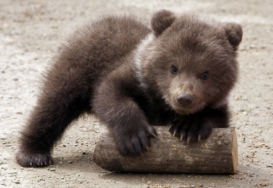 Guess the Bear Species