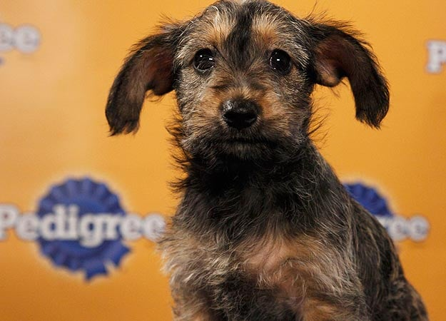 Chihuahua/terrier mix Leroy Brown is the baddest pup in the whole darn town. Source: Animal Planet