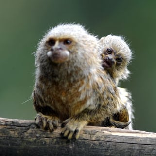 Pygmy Marmoset Pictures