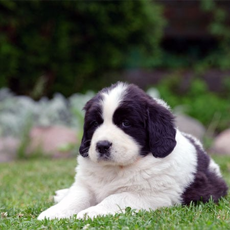 Supersize Your Fun With These Newfoundland Puppy Pictures!