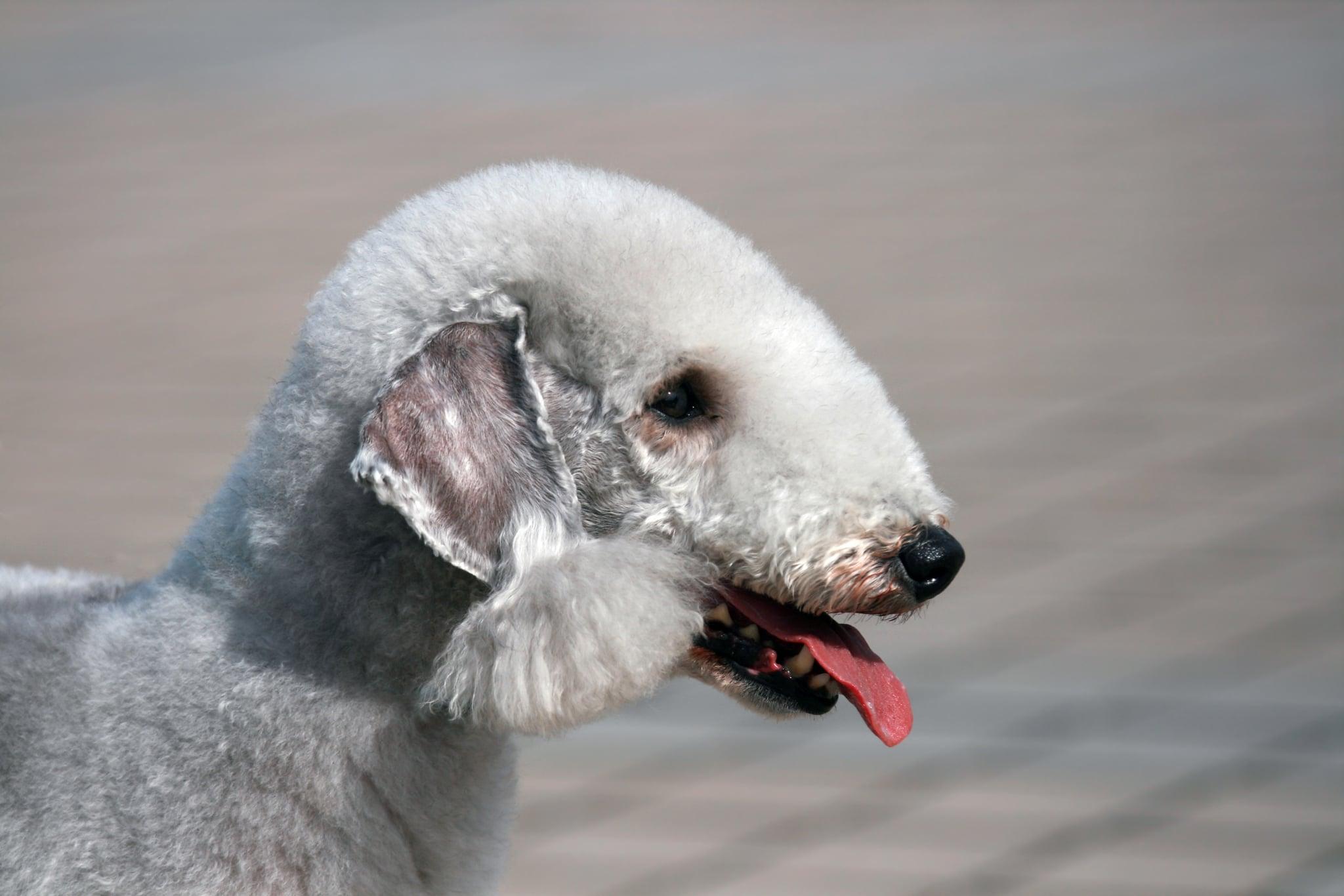 Filbert-Shaped Ears