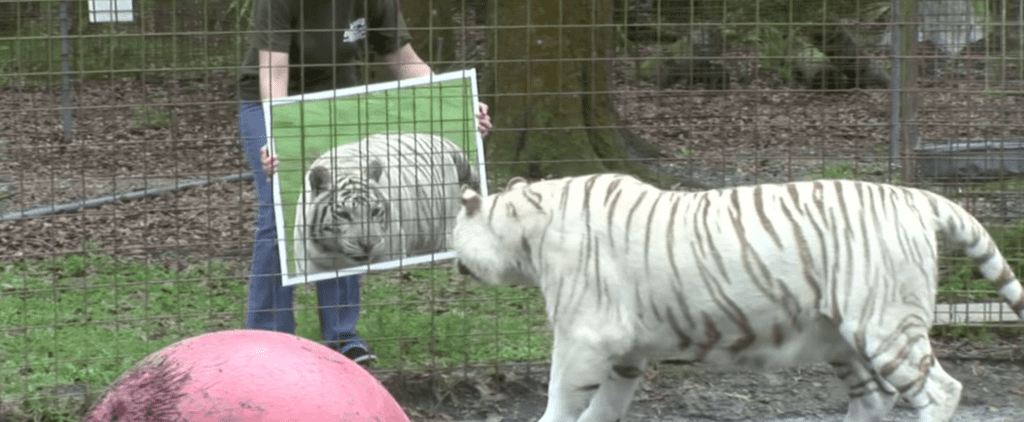 Big Cats Are Shown a Mirror, and Their Reactions Are Hilarious