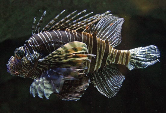 A brightly colored turkeyfish, aka red lionfish, swims around the Aquarium of the Pacific in Long Beach, CA.