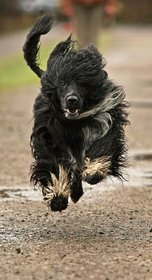 Breed Spotlight: Portuguese Water Dog