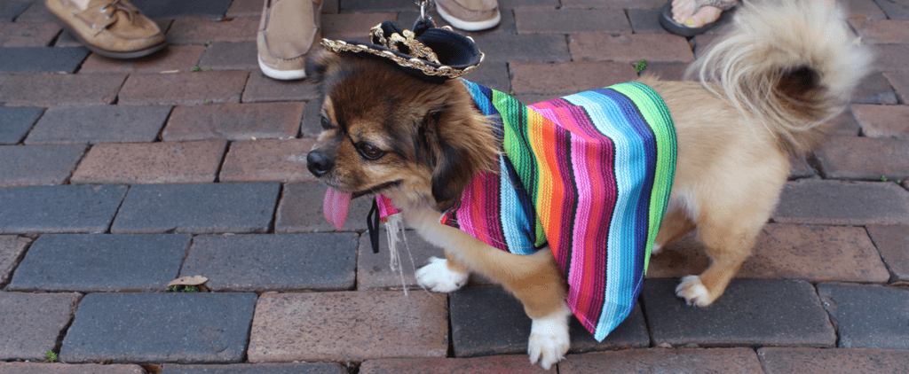 More Than 100 Chihuahuas Race For Charity in Their Fanciest Outfits