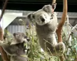 Chauvinistic Koala Gets What He Deserves