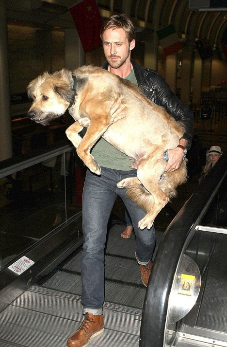 Ryan Gosling carried his full-grown dog, George, like a baby through an LA airport terminal in June 2011.