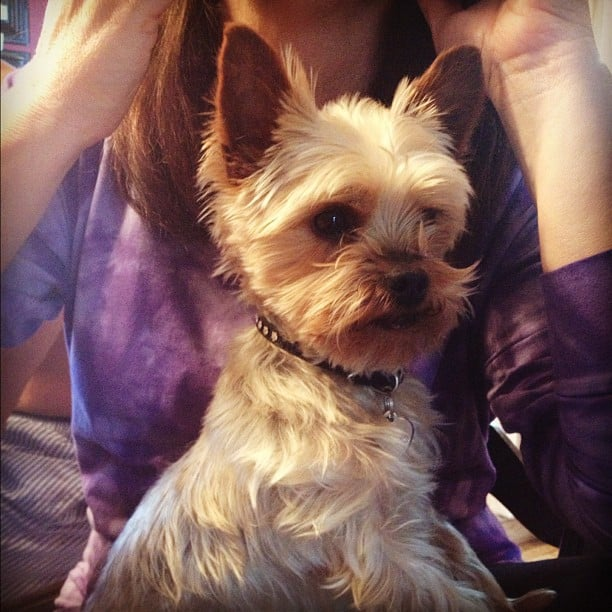 BellaSugar Editorial Assistant Maria del Russo hung out with her majestic Yorkie, Fredo.