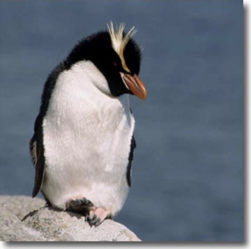 Reclusive Snares Island penguins do not have the white cheek feathers found on the Fiordland crested penguins, have more retracted crests than those of erect-crested penguins, and have less-elaborate crests than those of the rockhopper penguins. Source: USGS
