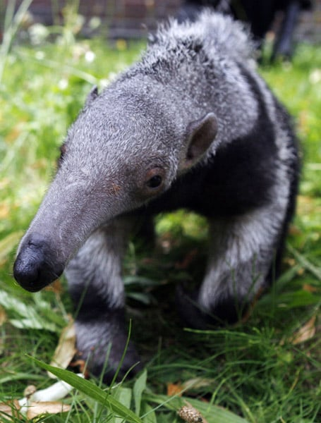 Thanks to long snouts and even longer tongues, giant anteaters are able to lap up 35,000 ants and termites a day without destroying the mounds these insects call home.