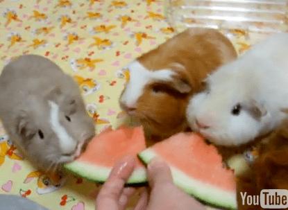 Cute Alert: Guinea Pig Watermelon Eating Party