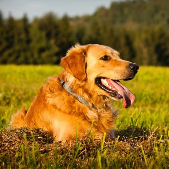 Facts About Golden Retrievers
