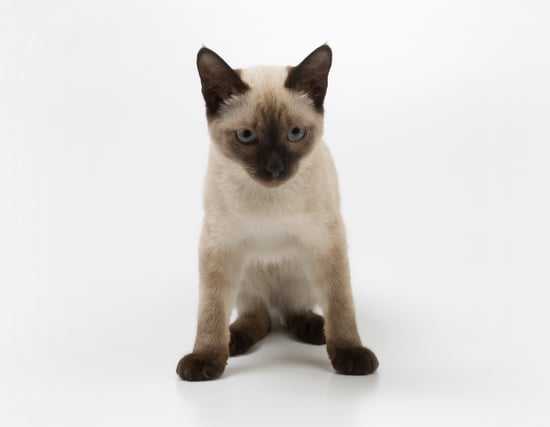 Guess the Cat Breed