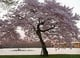 Cherry blossoms bloomed in Washington DC.